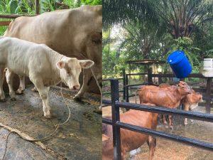 Lembu KK dan Lembu Charolais