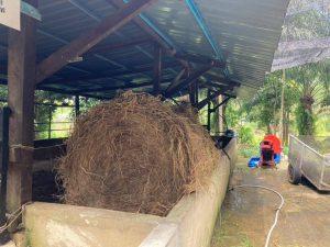 jerami padi lembu murah 1