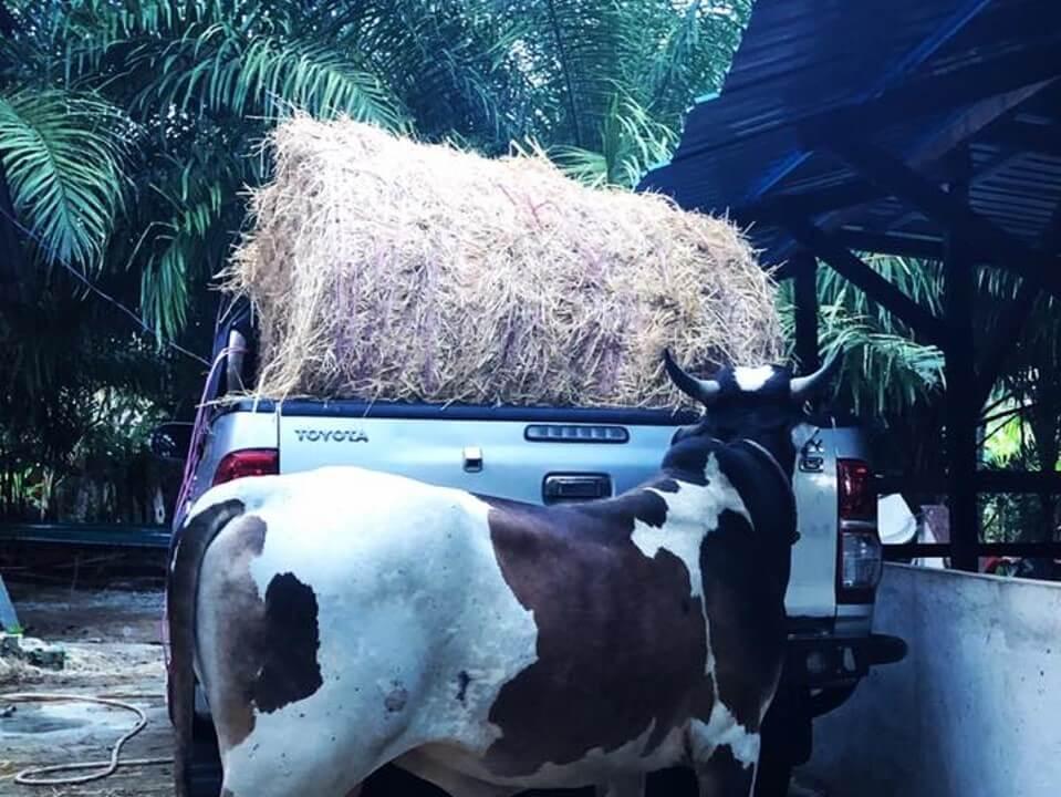 lembu mesti kena makan